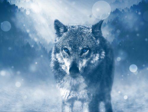 Loup majestueux au regard bleu acier